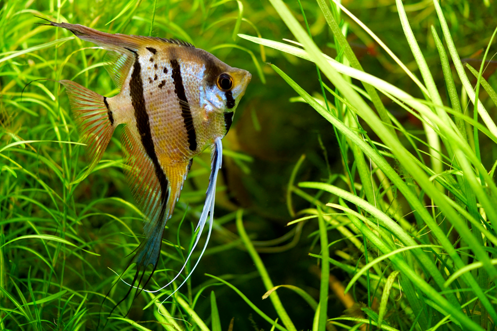 Petland Texas picture of a freshwater angelfish in an aquarium.