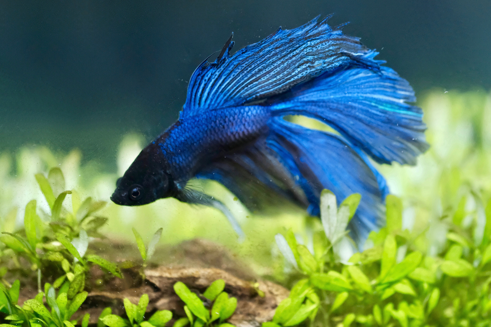 Petland Texas picture of blue-colored Betta fish in a home aquarium.