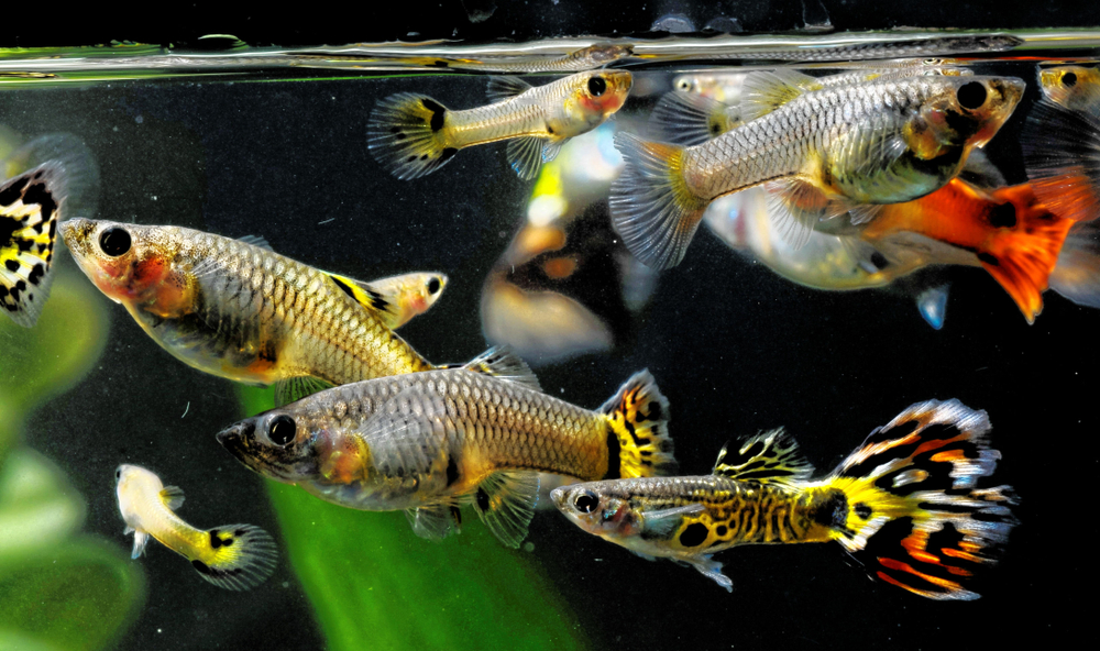 Petland Texas picture of a group of multi-colored guppies.