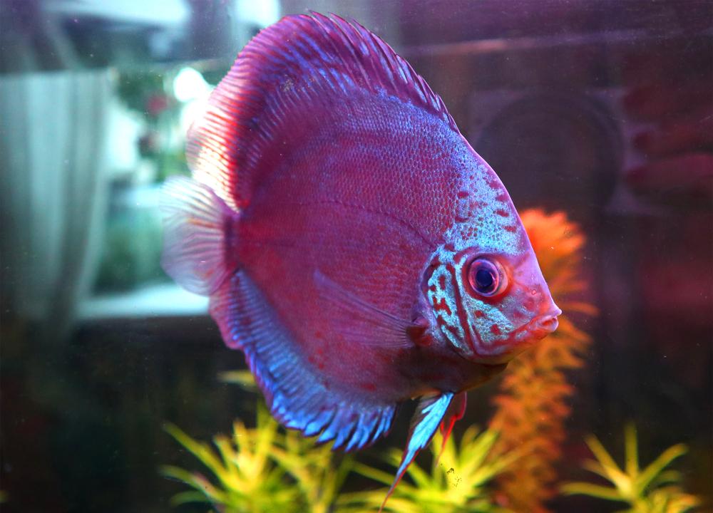 Gambar Petland Texas ikan Discus ungu / biru di akuarium air tawar.