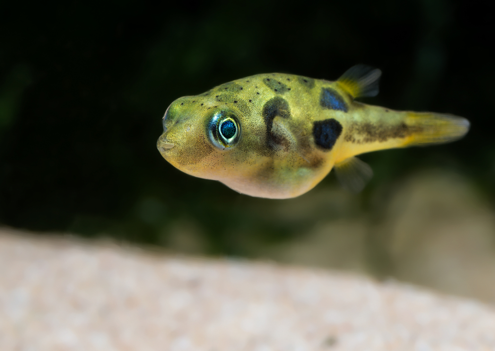 Petland Texas picture of Dwarf Puffer fish swimming in a freshwater tank.
