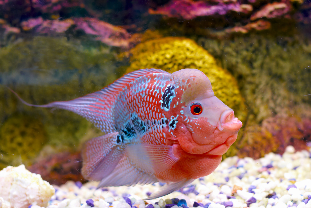 Petland Texas picture of Flowerhorn Cichlid fish in a freshwater aquarium.