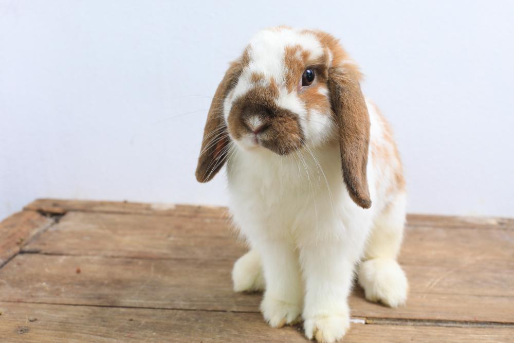 5 Popular Rabbit Breeds For Families Petland Texas