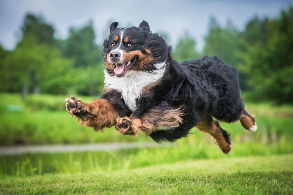 Petland Texas picture of cute Bernese Mountain Dog running and sprinting.