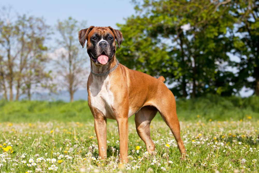 Petland Texas picture of a cute Boxer dog standing on a grassy field.