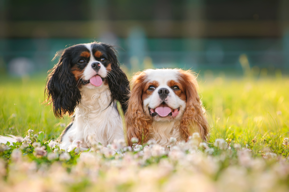 Petland Texas picture of cute Cavalier King Charles Spaniel dogs sitting in a grassy field.