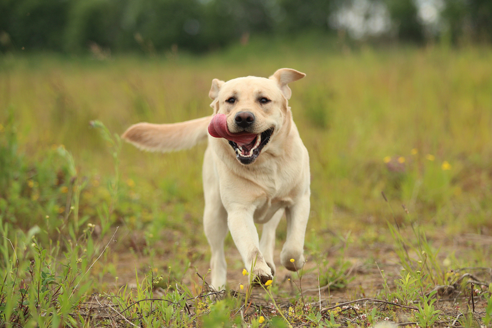 Petland Texas picture of a cute Labrador Retriever running in a field.