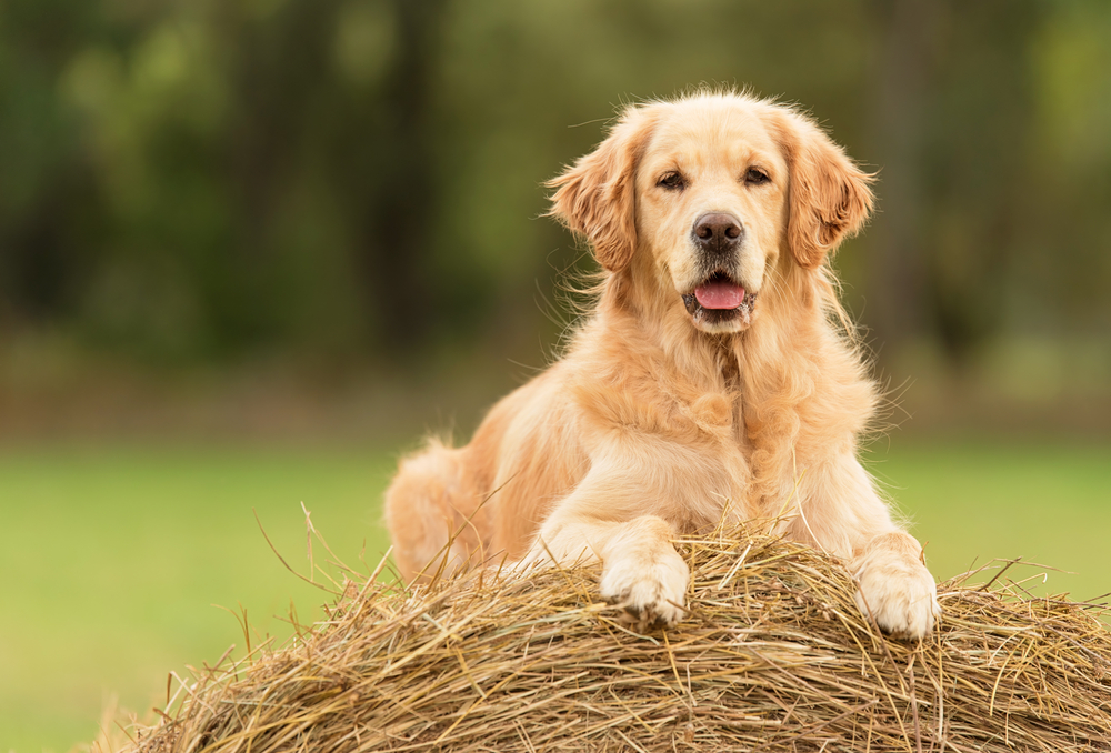 Petland Texas picture of Golden Retriever puppy sitting on a haystack.