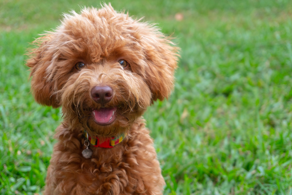 Petland Texas picture of cute toy Poodle puppy looking at the camera.