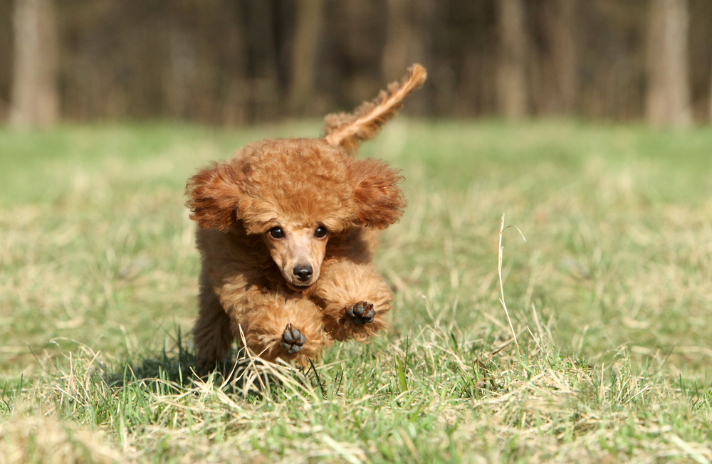 Petland Texas picture of a beautiful red toy Poodle running and playing.