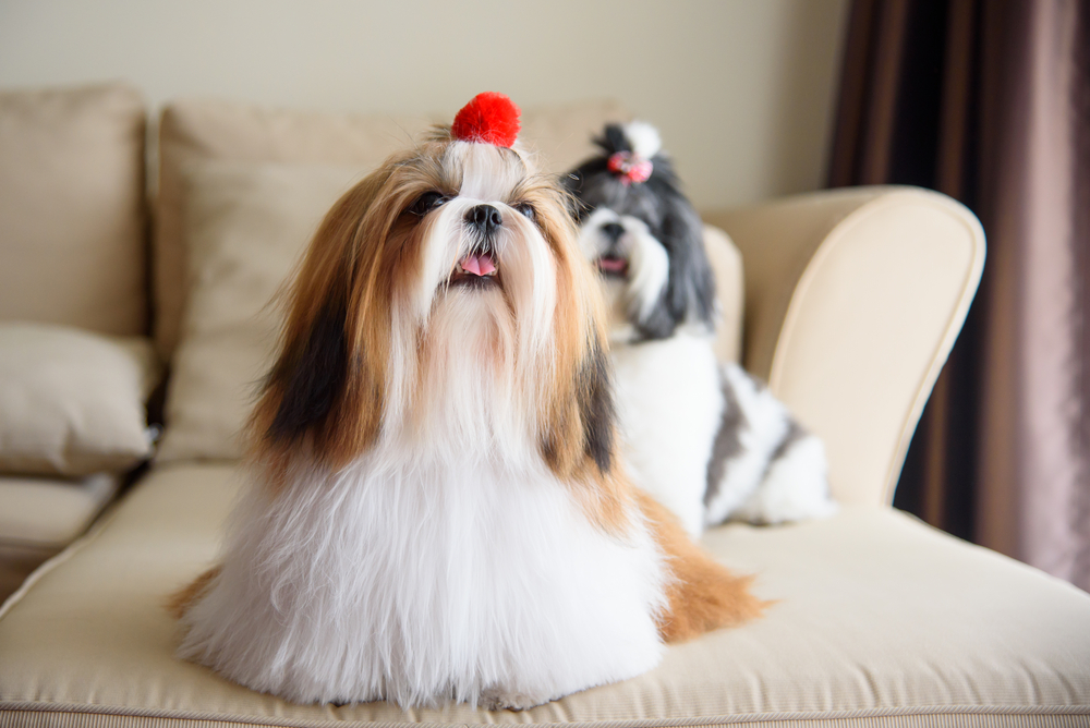 Petland Texas picture of two cute Shih Tzu dogs sitting on the sofa.