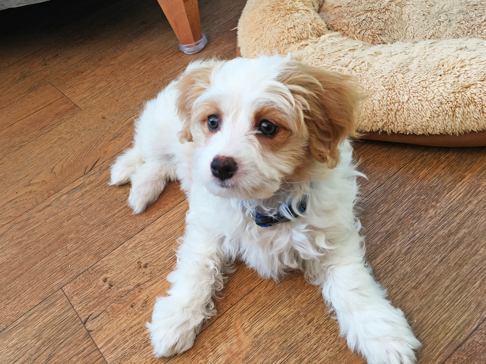 cute Cavachon puppy sitting on the floor and with a doggy bed behind it.
