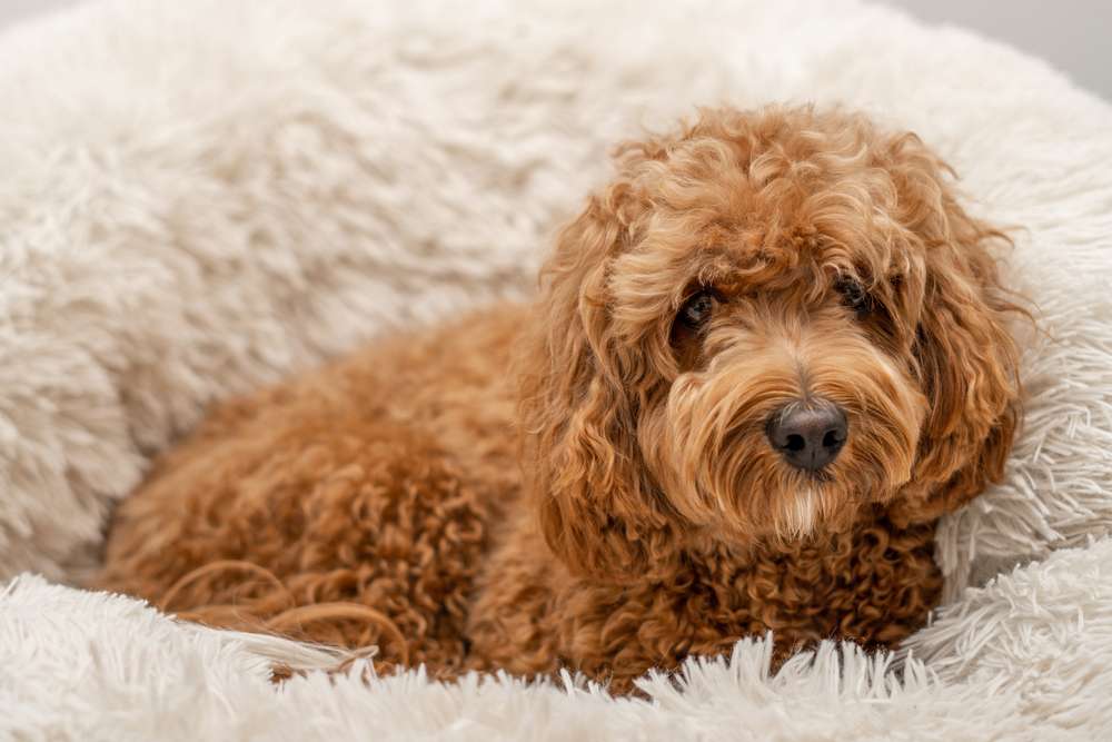 adorable Cavapoo puppy sitting on their doggy bed.