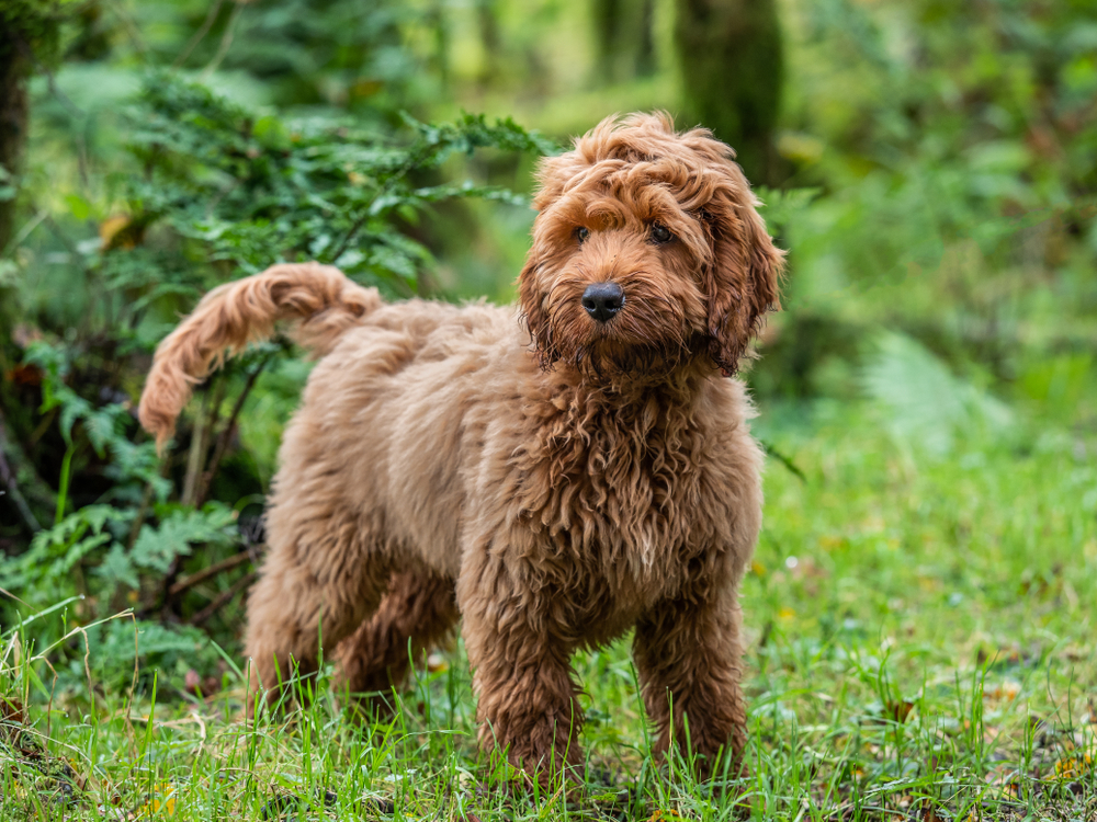 Adorable Cockapoo puppy standing in a large forest.