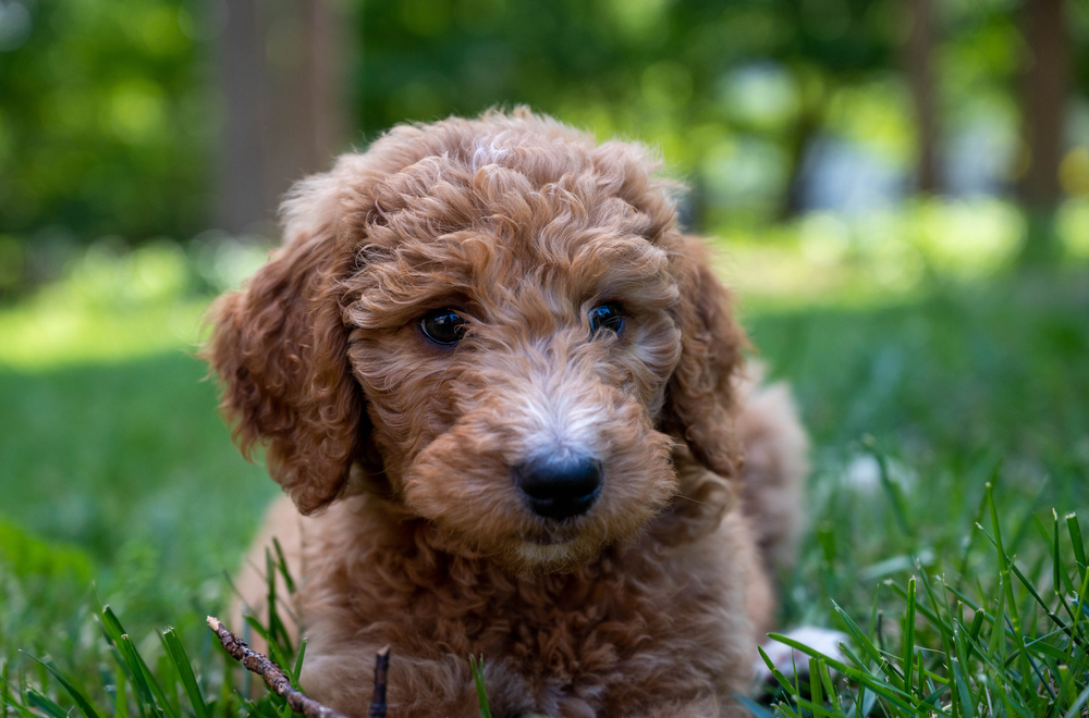 a cute Goldendoodle puppy sitting on a grassy field.