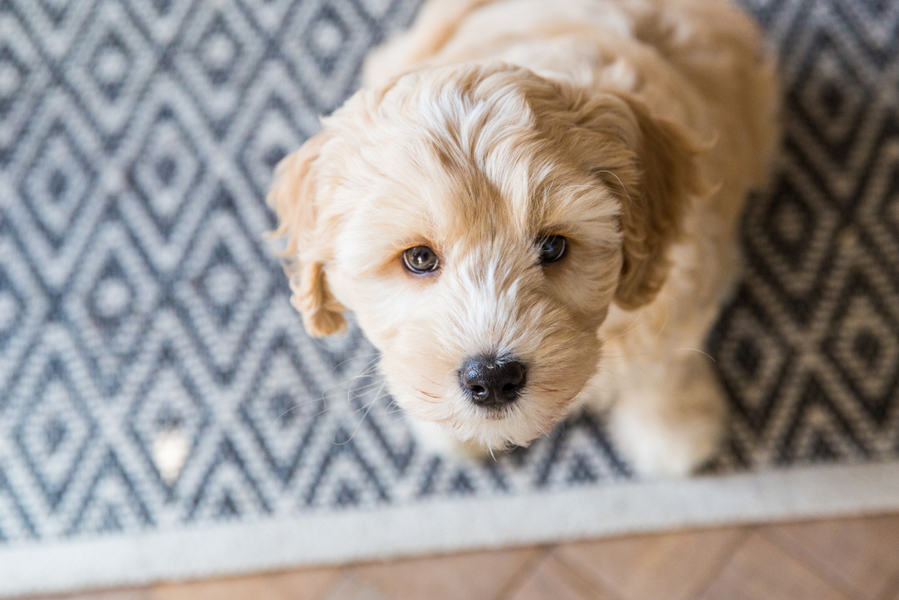 a cute and fluffy Labradoodle puppy sitting on a rug and looking up at the camera.