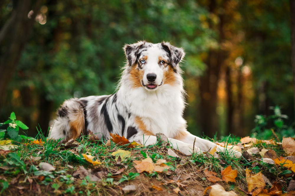 Merle colored Australian Shepherd sitting in a grassy field and posing for the camera for Petland Texas.
