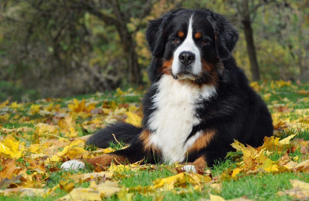 Large Bernese Mountain Dog sitting on autumn leaves while looking at the camera for Petland Texas.