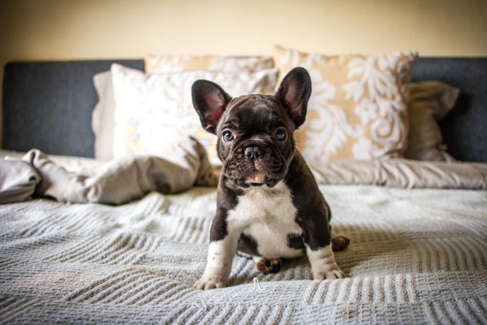 Cute French Bulldog puppy sitting on a bed while looking at the camera for Petland Texas.