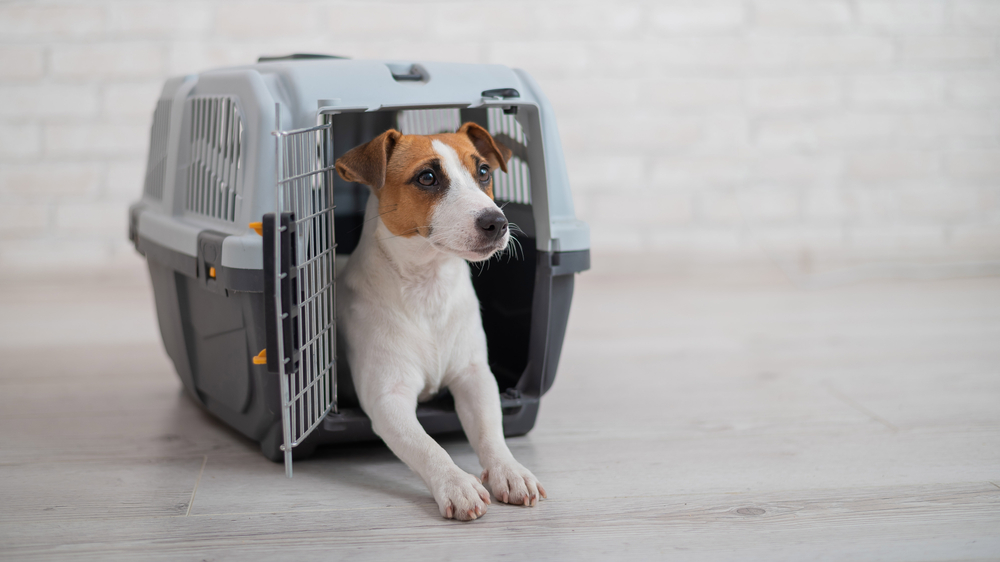 Cute Jack Russell Terrier sitting in a plastic dog crate looking happy.