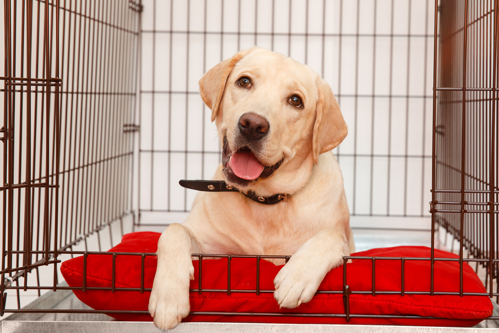 Labrador Retriever puppy sitting on a red pillow while inside a wire dog crate.