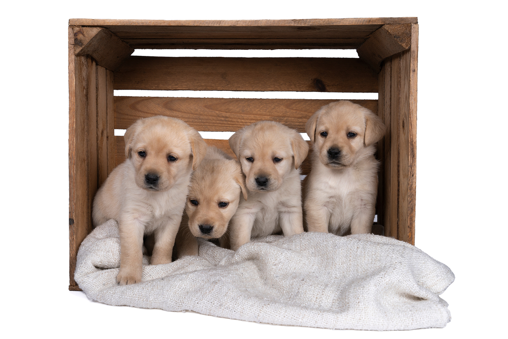 Cute Labrador Retriever puppies sitting on top of a white blanket inside a wooden crate.