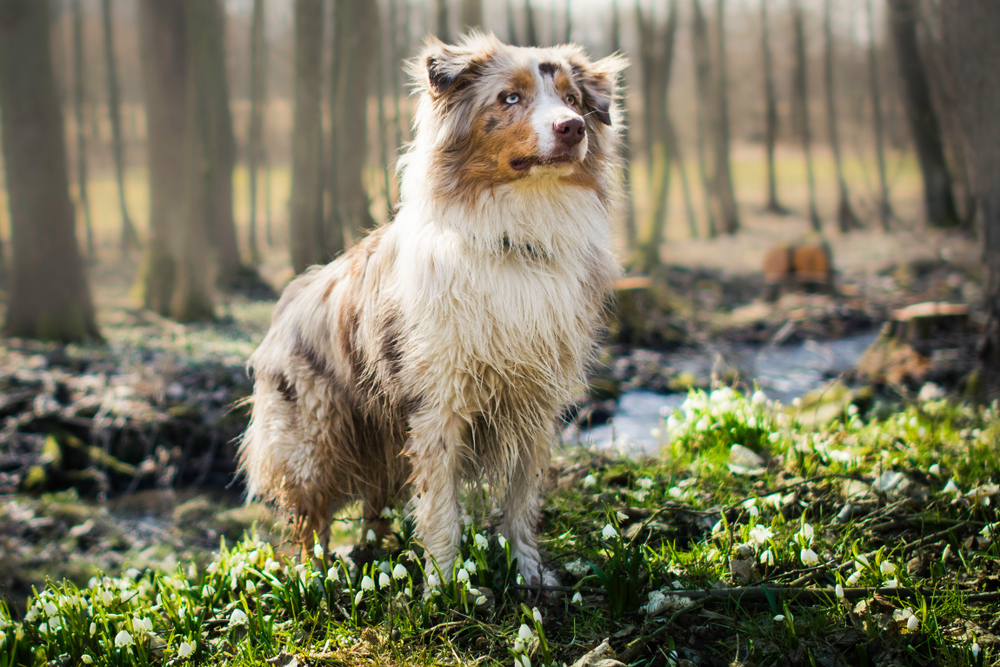 Merle Australian Shepherd dog standing in a forest.