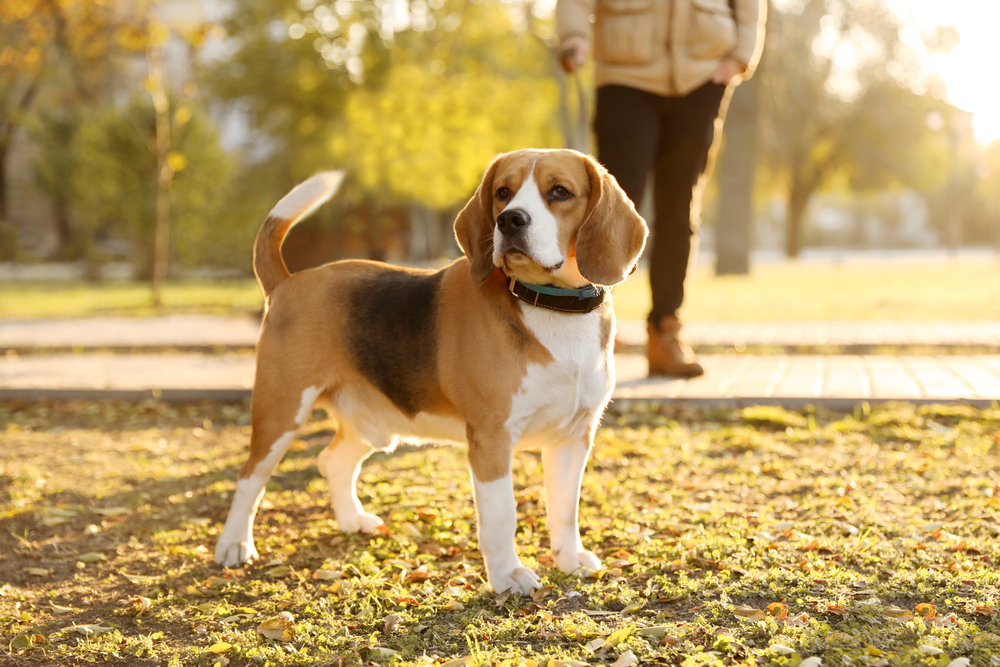 Beagle dog standing in a park with owner behind it.