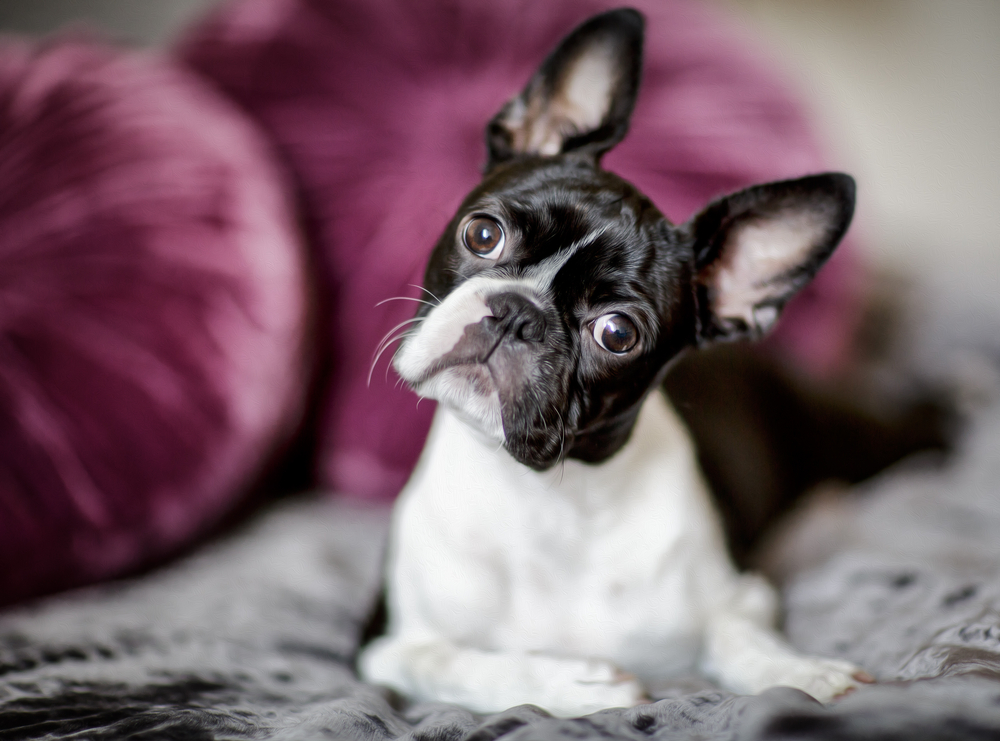 A cute Boston Terrier dog looking at the camera while laying on the bed.
