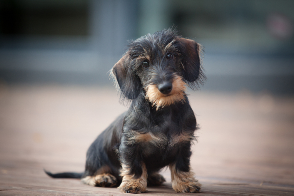 Cute wire-haired dachshund puppy posing for a picture.