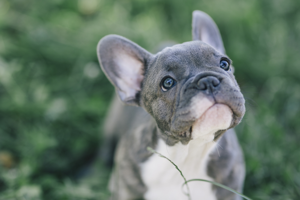 An adorable French Bulldog puppy standing on grass looking up at the camera.