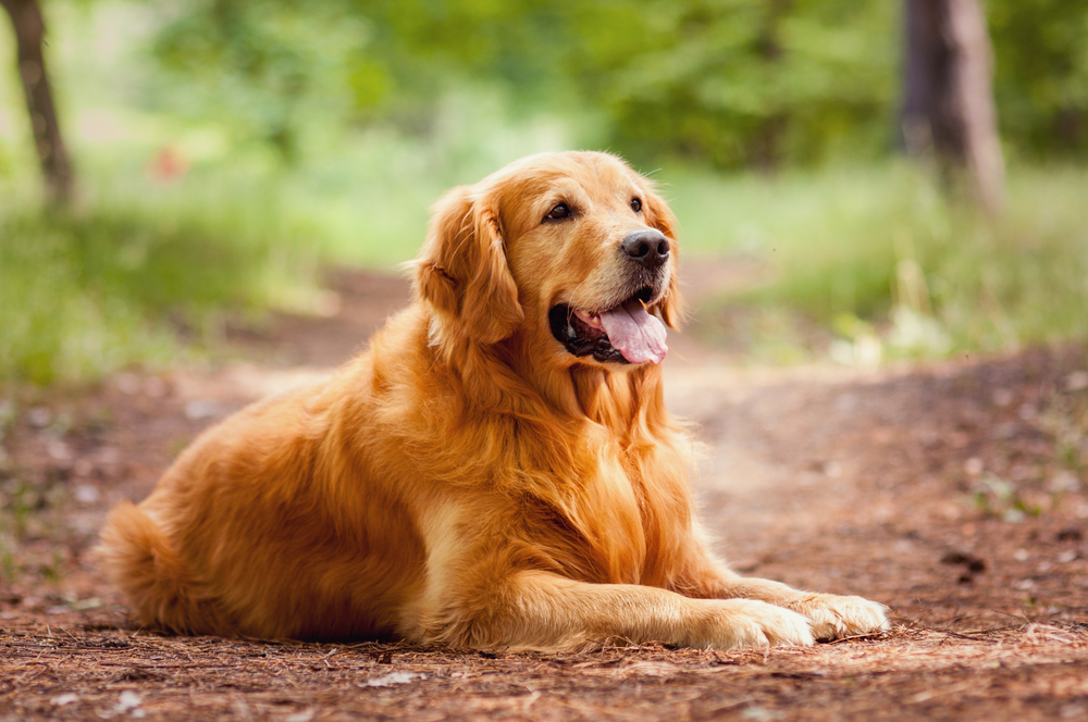 Golden Retriever dog sitting on a dirt pathway in the woods.