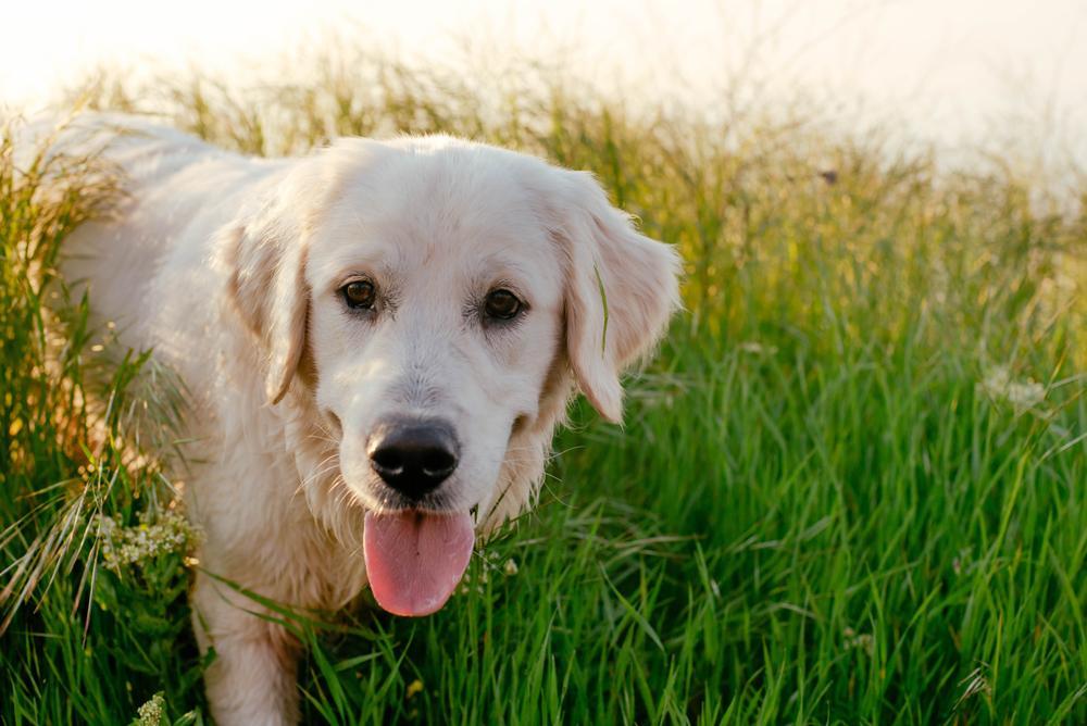 Labrador Retriever dog walking in grass.