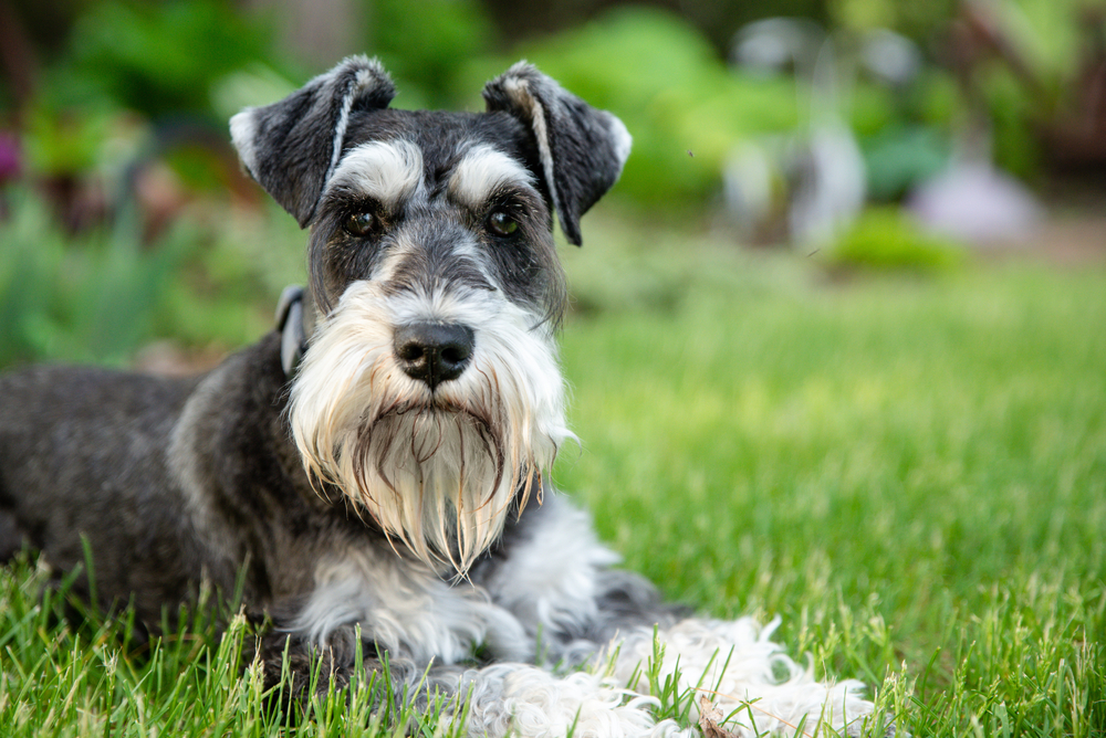 Cute salt and pepper Miniature Schnauzer laying on grass while looking at the camera.