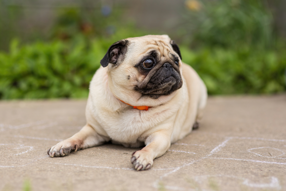 A cute Pug dog laying on a pathway.